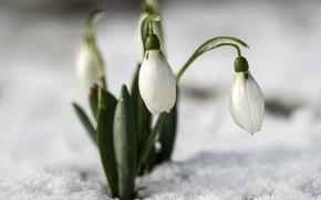 Картинка макро, снег, весна, подснежники