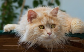 Обои кот, котейка, котэ, рыжий кот, мордочка, взгляд