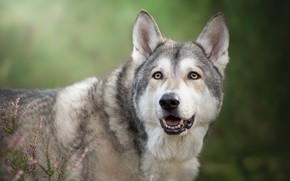 Картинка взгляд, морда, фон, вереск, Чехословацкий влчак, Чехословацкая волчья собака, волкособ