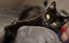 Картинка кошка, кот, диван, черный, лапа, лежит, красавчик, желтые глаза