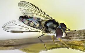 Картинка муха, насекомое, радужные крылья