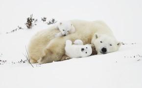 Картинка снег, медведи, медвежата, белые медведи, медведица, полярные медведи