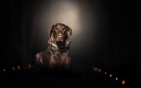 Картинка взгляд, фон, собака, шарф