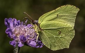 Картинка цветок, макро, бабочка, лимонница, крушинница