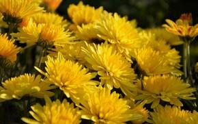 Картинка цветы, весна, цветение, хризантемы