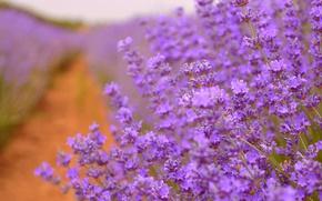 Картинка Лаванда, Lavender, Purple flowers