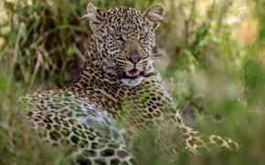 Обои клыки, Африка, леопард