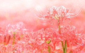 Картинка красный, лепестки, паучья лилия
