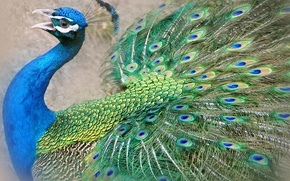Обои птица, павлин, хвост, клюв, перья