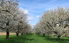 Картинка весна, сад, цветущие деревья