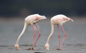 Картинка птицы, природа, Greater flamingo