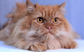 Обои кошка, кот, усы, взгляд, мордочка, рыжая, пушистая