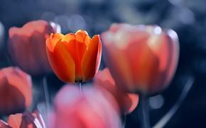 Картинка цветы, тюльпаны, боке, Katrin Suroleiska