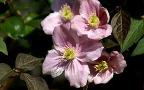Картинка розовый, клематис, ломонос