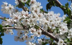 Картинка небо, цветы, черешня, апрель, весна 2018, Mamala ©