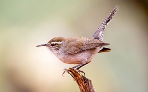 Картинка птица, клюв, хвост, длиннохвостый крапивник Бьюика