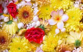 Картинка цветы, хризантемы, плюмерия