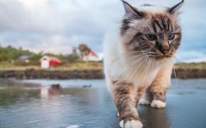 Обои кошка, кот, усы, походка
