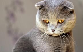 Картинка кот, взгляд, киса