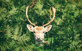Картинка зелень, морда, природа, олень, рога, папоротник