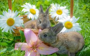 Картинка цветы, корзина, ромашки, кролики, травка, малыши