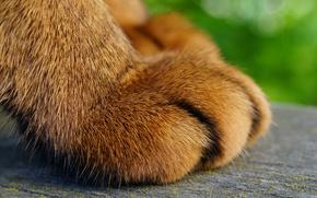 Обои кот, лапка, шерсть, макро