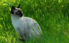 Обои Сиамский кот, Siamese cat, Cat