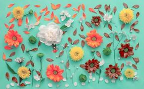 Картинка цветы, фон, лепестки, хризантемы