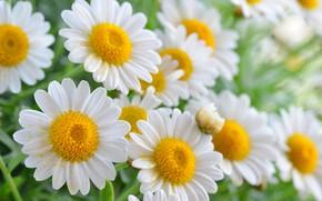 Картинка лето, цветы, ромашки, цветение