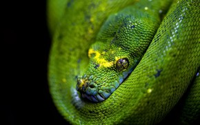 Картинка Vaughan, Emerald Tree Boa, Reptilia