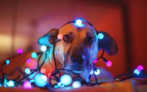Картинка взгляд, морда, собака, гирлянда, лампочки