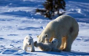 Картинка play, bear, animals, nature, winter, snow, puppies, mother, Polar bear, cubs