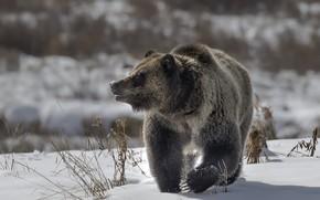 Картинка зима, природа, медведь