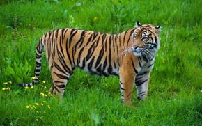 Обои тигр, окрас, хищник, полоски, грация, дикая кошка