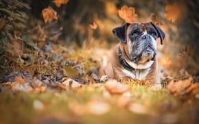 Обои собака, боке, Боксёр, пёс, осень, листья
