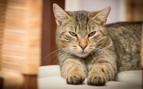 Картинка кошка, кот, взгляд, серый, лапы, лежит, серая, недовольный, полосатый, суровый