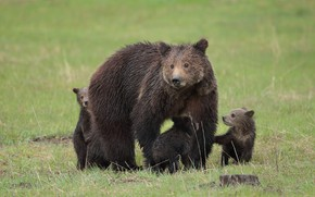 Картинка животное, медведи, большой, шкура, медвежата, медведица