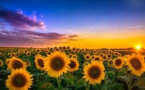 Обои поле, подсолнухи, пейзаж, закат, цветы, обои