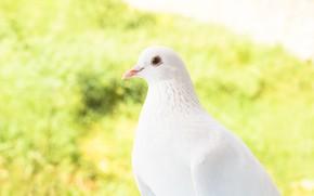 Картинка природа, птица, голубь