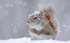 Обои зима, снег, белка