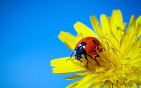 Картинка цветок, макро, фон, божья коровка, жук, насекомое, осот