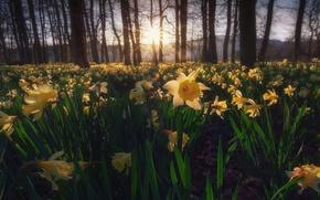 Картинка природа, весна, нарциссы жёлтые