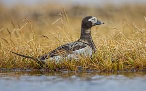 Картинка трава, вода, природа, птица, утка, морянка, саук