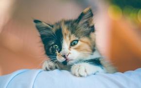 Картинка взгляд, малыш, мордочка, котёнок