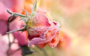 Картинка розовый фон, в инее, бутон розы