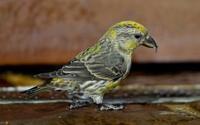 Картинка птица, клюв, клёст-еловик