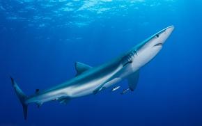 Картинка море, животные, вода, рыбы, океан, рыба, акула, подводный мир, под водой, голубая, фауна, подводная съёмка, …