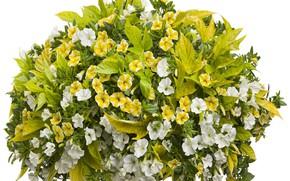 Картинка петунии, белый фон, цветы