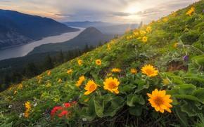 Картинка цветы, горы, склон, бальзамориза, Columbia River, Ущелье реки Колумбия, штат Вашингтон, Washington State, Columbia River …