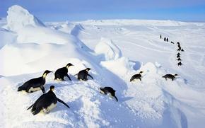 Картинка лед, снег, птица, Антарктида, императорские пингвины
